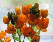Orange Flowers Photograph ORANGE SUN STARS,  Fine Art  Photograph,  Maine Garden