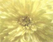 SUMMER Flower Photograph Yellow Mum, 10 x 8, Shabby Chic Pastel Yellow Mum, Symbol Of Optimism And Joy