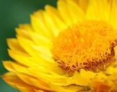 Helichrysum Hydrosol/Flower Water