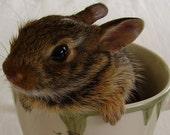 Tea Cup Bunny - Fine Art Photography - Easter Bunny/Baby Bunny/Spring/Home Decor/Nursery Art/Kids Room - 8 x 10 Print