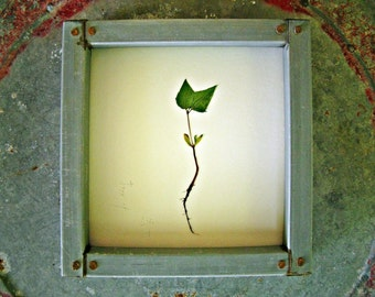 Tree of Life || sour cherry sprout framed in rusted tin