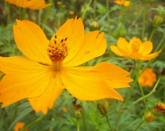 very big yellow cosmos,seeds from our organic garden