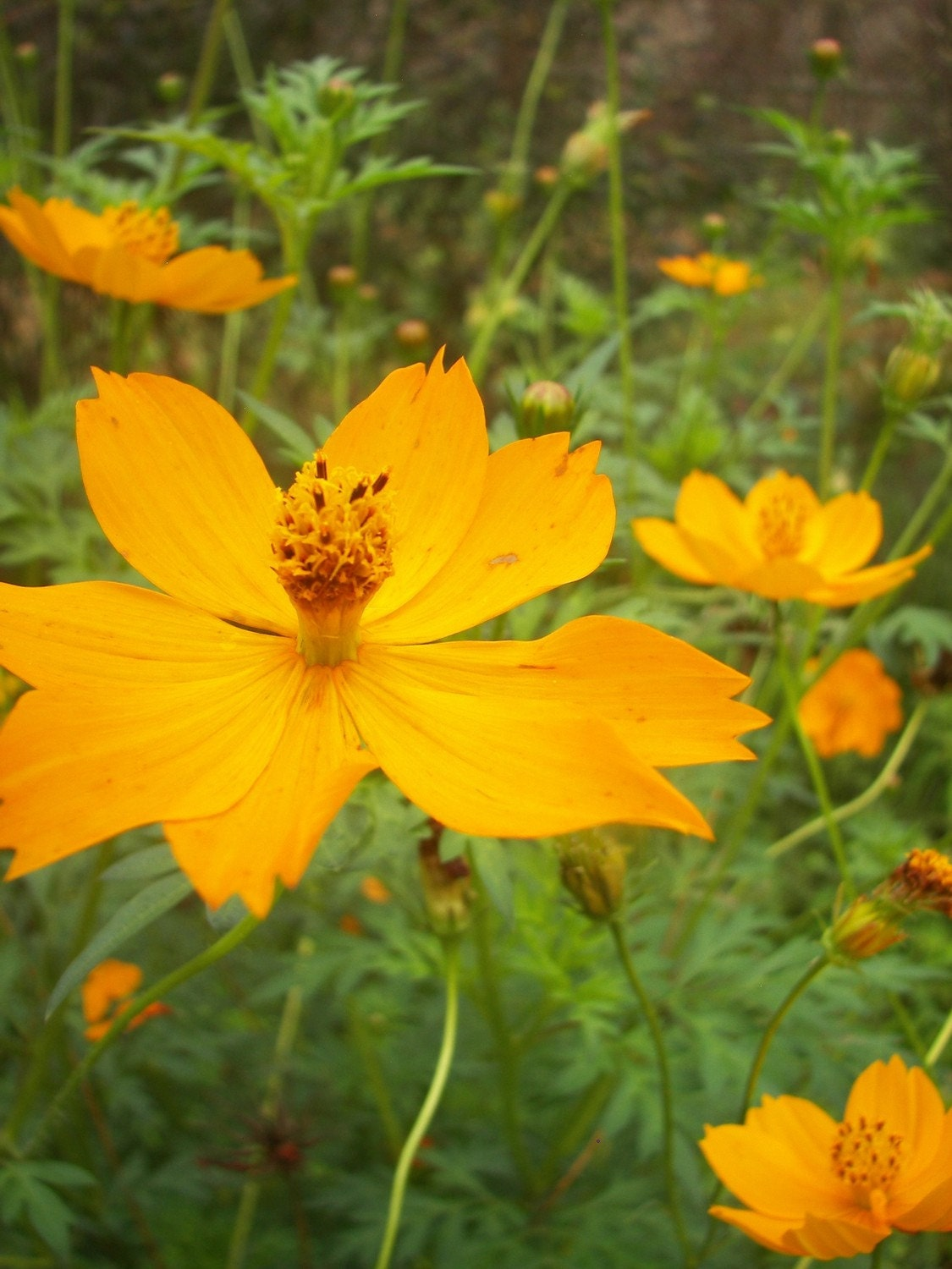 Very Big Yellow Cosmos Seeds From Our Organic Garden From
