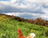 Photograph - Free Range Hen