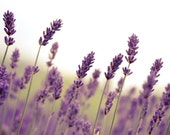 Photography - Lavender Layers