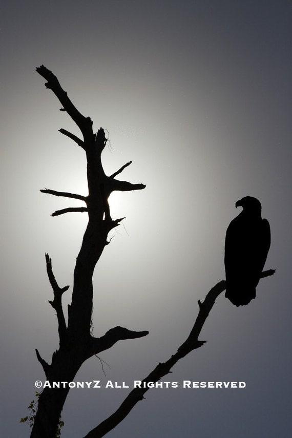Silhouette Bald Eagle on a Tree Branch 8x10 Fine Art Print