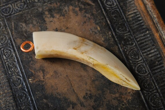 Genuine wild boar tusk,  tooth, fang