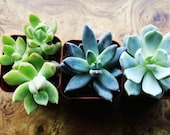 TRIO of succulent plants