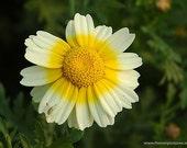 Edible Chrysanthemum- Tiger Ear (Tong Hao)