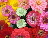 Spanish Senorita Zinnia Bunch