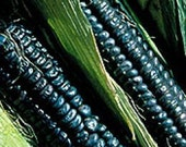 Black Sheep of the Patch Black Corn