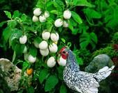 Easter Egg Plant