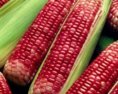 Bloody Butcher Red Corn