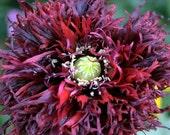 Black Swan Poppy
