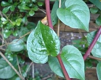 5 Fresh Malabar Spinach Bloops/ Bulbs