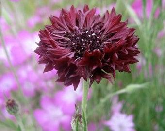 Black Magic Woman- Cornflower