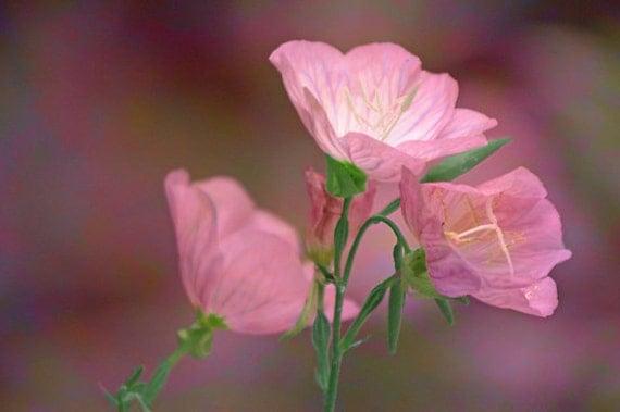 Pink Mallow Primrose