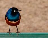 superb starling bird, africa, 8x10 fine art photograph print