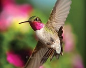 Aerial Acrobat, Broad-tailed Hummingbird Note Card, 5x7