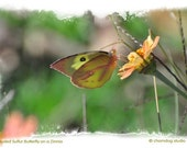 Clouded Sulfur Butterfly on Zinnia Poster