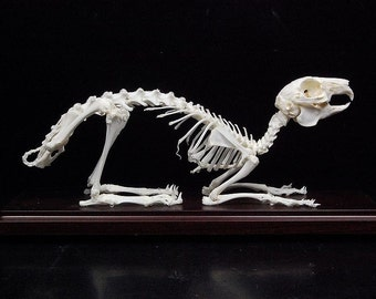 Real rabbit skeleton with plastic case,christmas gift