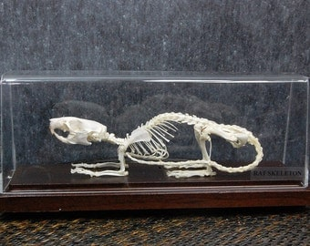 Real rat skeleton with case and base ,amazing birthday gift,christmas gift