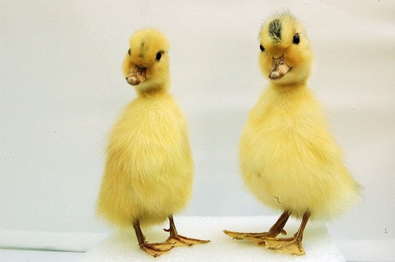 taxidermy of 2 duckling, Real duckling, Christmas gift.