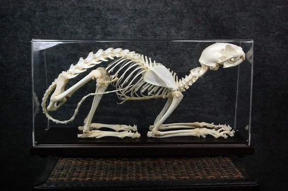 Real cat skeletons Free shipping to worldwide