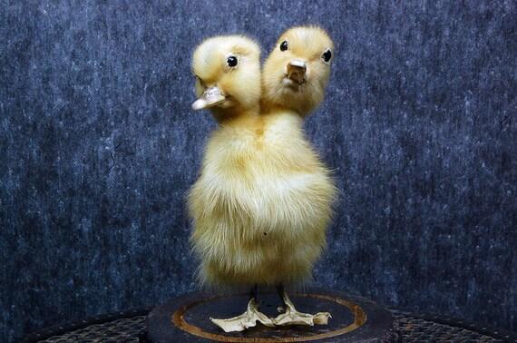 taxidermy of 2 head freak duckling made by 2 ducklings