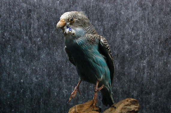 taxidermy of parrot