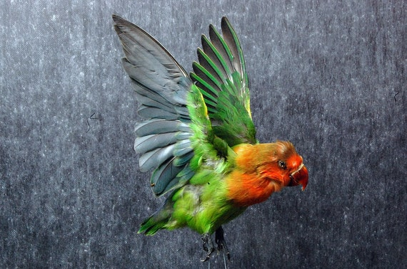 taxidermy of parrot open wings