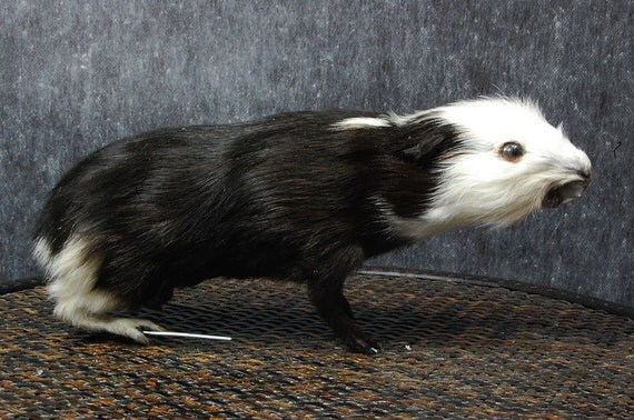taxidermy of guinea-pig