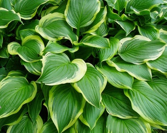 Hostas, Iron Gate Glamour x 5, Live Plants Contractor's Wholesale Offer