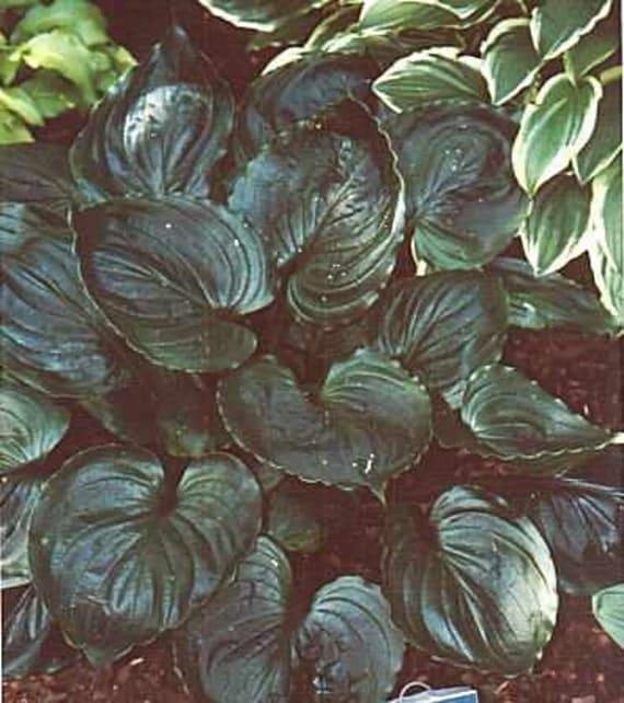 Hosta, Lakeside Black Satin, Live Plants