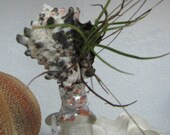Antique Medicine bottle 20th C topped with natural sea shell and live Airplant