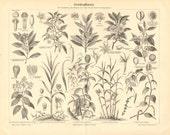 1895 Spice Plants, Clove, Allspice, Japanese Star Anise, Nutmeg, Cinnamon Original Antique Engraving to Frame