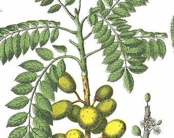 1886 Bladder Campion, Mangrove, Wood-sorrel, Mouse-ear Chickweed Original Antique Chromolithograph
