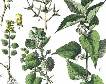 1886 Ground Ivy, Wall Germander, Sweet Basil, Cat Thyme Original Antique Chromolithograph