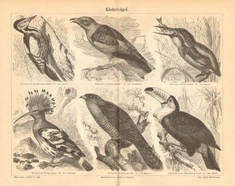 1890 Birds, Great Spotted Woodpecker, European Roller, Eurasian Kingfisher, Hoopoe, Common Cuckoo, Toco Toucan Antique Engraving Print