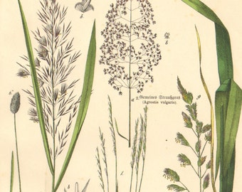1886 Grasses, Foxtail, Millet,  Silver Hair-grass, Common Reed Original Antique Chromolithograph