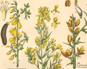 1886 Common Fumitory, Common Milkwort, Dwarf Milkwort, Shrubby Milkwort, Dyers Greenweed, Broom Original Antique Chromolithograph