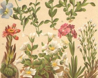 1903 Violets, Speedwells, Valerians, Violet, Soldanella, Houseleek Original Antique Chromolithograph