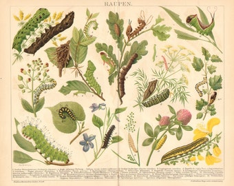 1895 Caterpillars, Elephant Hawk-moth, Tau Emperor, Dark Crimson Underwing, Winter Moth, Old World Swallowtail Original Antique Lithograph