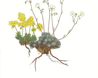 1959 Yellow Whitlowgrass, Grey Saxifrage, Broad-leaved Mouse Ear, Round-Leaved Penny-Cress, Buckler Mustard Vintage Lithograph to Frame