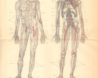 1894 Main Veins, Blood Vessels of the Human Body Original Antique Engraving