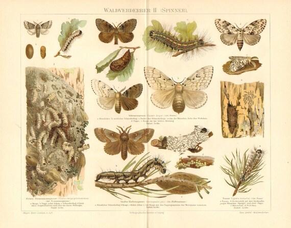 1897 Moths, Gypsy Moth, Processionary Moth, Pine-tree Lappet, Black Arches Original Antique Chromolithograph