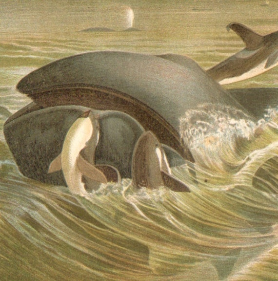 Reserved for Lauren 1900 Whales Original Antique Chromolithograph