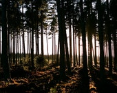 English forest photograph with warm sunlight filtering through pine trees. 8x10 35mm fine art photo: WARM FOREST FLOOR, uk seller