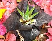 Haworthia attenuata 'zebra plant' succulent