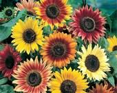 Autumn Beauty Sunflower Seed Bombs